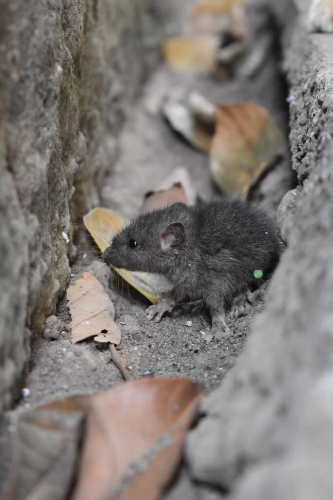 žiurkių naikinimas