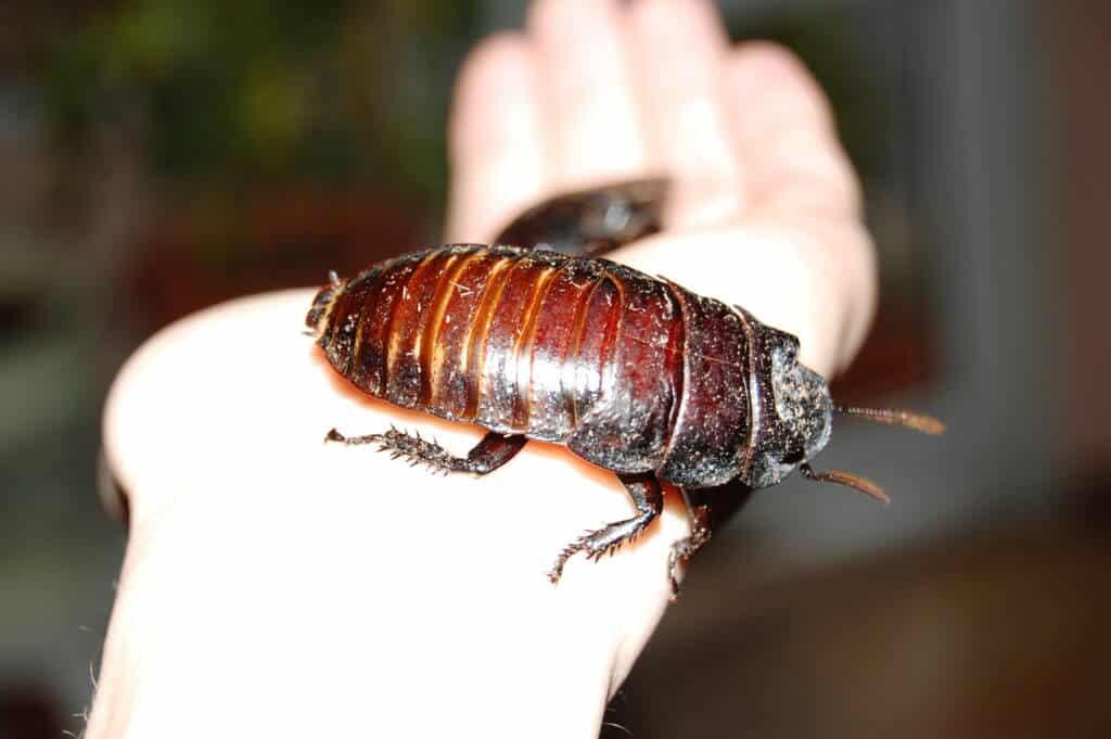 tarakonų naikinimas